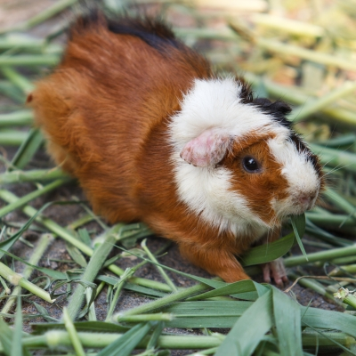 English is a funny language: Guinea pig is a good example