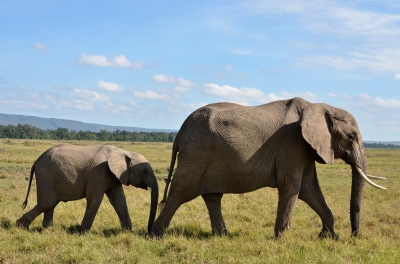 Elephants walking to represent walking idioms